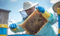 Efektem pracy pszczół jest około 30 litrów miodu akacjowego, fot. Szymon Zdziebło/Tarantoga.pl